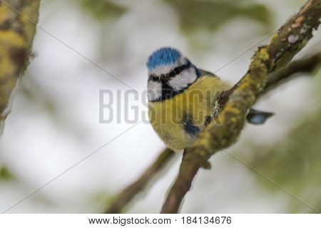 Blue tit (Cyanistes caeruleus) perched on branch looking down. Colourful garden songbird in the family Paridae showing distinctive blue crest