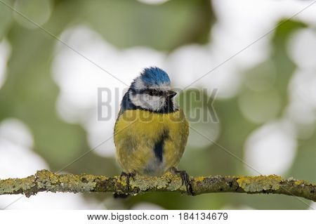 Blue tit (Cyanistes caeruleus) perched on branch head on. Colourful garden songbird in the family Paridae showing distinctive blue crest