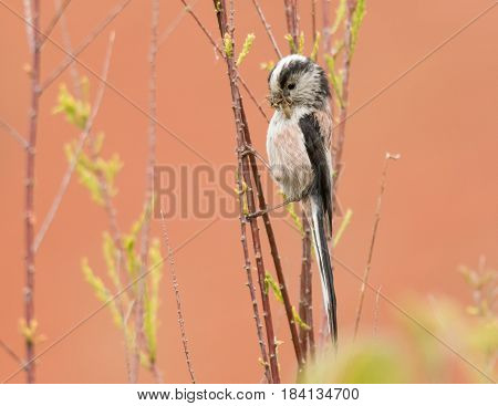 Long-tailed tit (Aegithalos caudatus) with spider in beak. Adult bird in the family Aegithalidae collecting invertebrates to feed chicks in nest