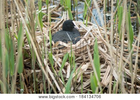 Coot (Fulica atra) on nest. Bird in the family Rallidae sitting atop nest of reeds incubating eggs