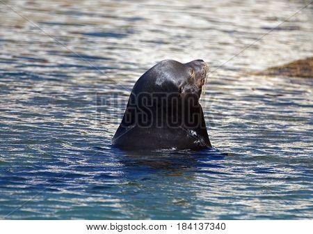 Caifornia Sea Lion near Cabo San Lucas Baja Mexico