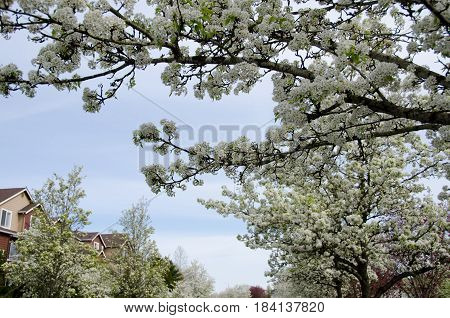 Blooming Cherry Branches Extend Over Buidlings Of A Residential Street In Seattle Suburb