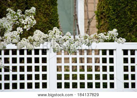 Blooming Cherry Branches Extend Over Fence