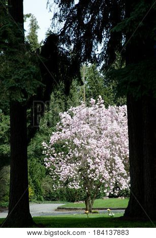 Blooming Cherrytree Framed By Cedars In Seattle Suburb