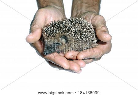 Little cute wild hedgehog in hands isolated on white background