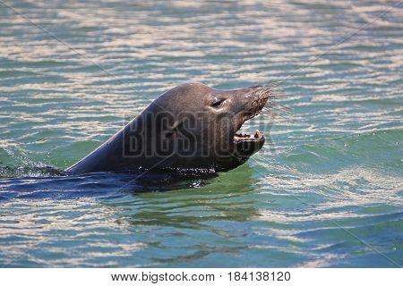Caifornia Sea Lion swimming near Cabo San Lucas Baja Mexico