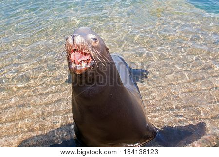 Sea Lion aggressively opening mouth in Cabo San Lucas Mexico