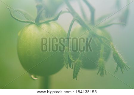 Green young tomatoes growing in the warm fume greenhouse