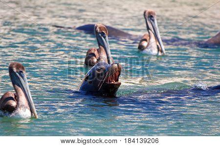 Caifornia Sea Lion swimming with three Pelicans near Cabo San Lucas Baja Mexico