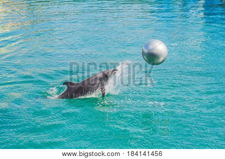 Dolphin In Blue Water Playing With The Ball
