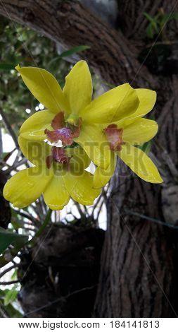 Orquídea amarilla limoncon toques rojizos de hermoso aspecto