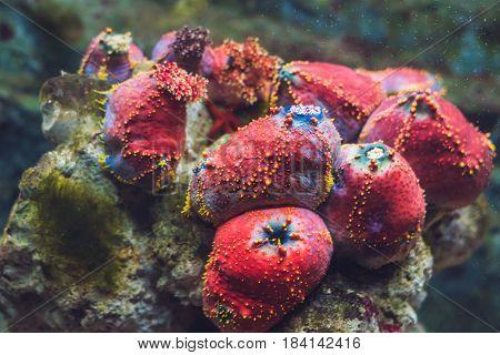 Colorful Lobophyllia LPS coral In a tropical aquarium