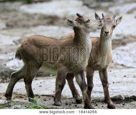 two young ibex playing