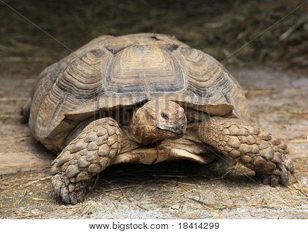 giant tortoise resting poster