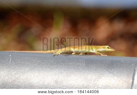 Green Anole travels along looking for a meal.