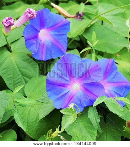 Morning Glories blooming on a warm southern morning!