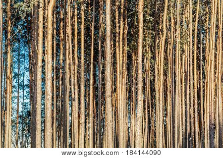 Coniferous forest background of trunks of long smooth trees boles of conifers side by side in the Black Forest