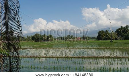 Ricefields, Davao Oriental, Philippines Newly planted rice seedlings in a rice field