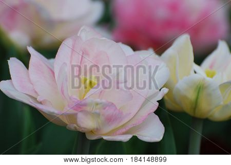 Gorgeous blooming pale pink parrot tulip flowering in a tulip garden.