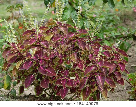 Mayana  Plant with many known medicinal benefits