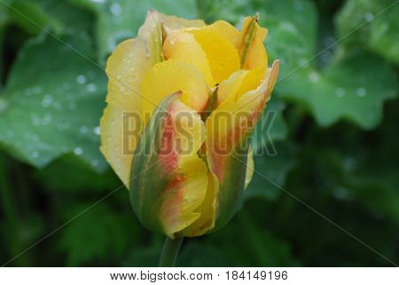 Pretty unusual yellow tulip with dew drops on the petals.