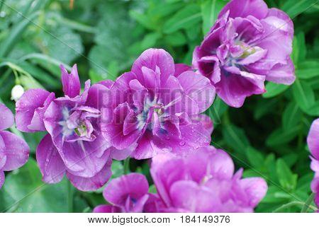 Tulip garden with blooming purple tulips in spring.