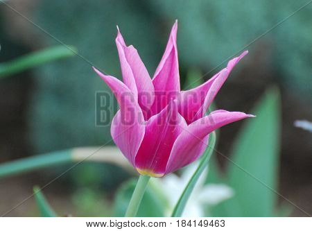 Blooming pretty spikey pink tulip flower blossom.