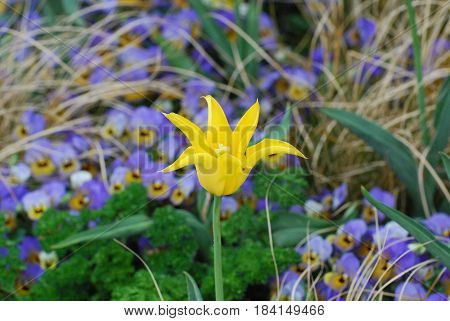 Gorgeous yellow tulip with spikey petals flowering.