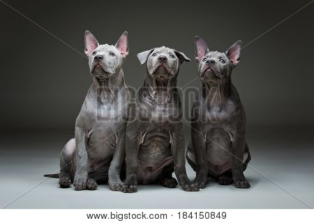 Three beautiful blue thai ridgeback 3 months old puppy over grey background. Copy space.