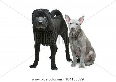 Beautiful old black purebred shar pei dog and cute blue thai ridgeback puppy isolated on white background. Copy space.