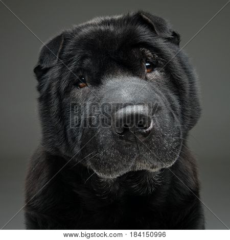 Beautiful old black purebred shar pei dog sitting on grey background. Copy space.