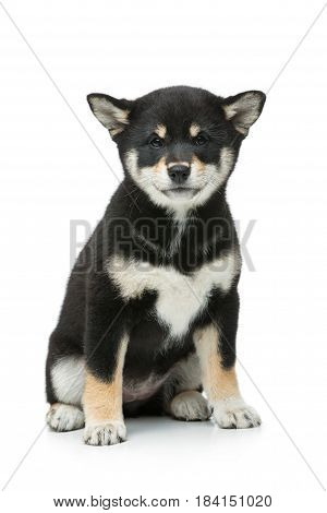 Beautiful black japanese shiba inu puppy dog sitting. Isolated on white. Copy space.