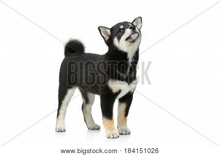 Beautiful black japanese shiba inu puppy dog standing. Isolated on white. Copy space.