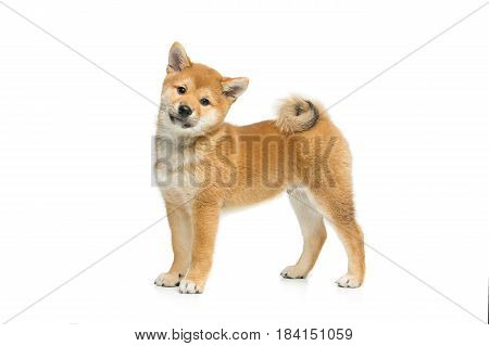 Beautiful brown japanese shiba inu puppy dog standing. Isolated on white. Copy space.