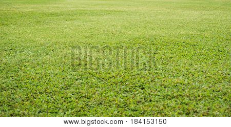 Background and texture of Beautiful green grass.