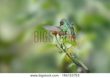 Rufous tailed hummingbird (Amazilia tzacatl) feeds in the forest. Costa Rica