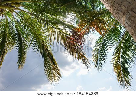 Leaves Of Coconut Tree In Summer Sunny Natural