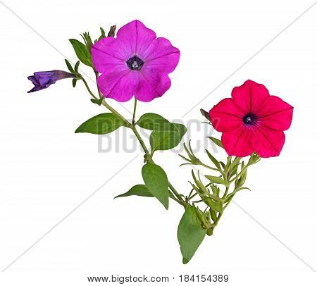 Two stems with a bright red and magenta flowers of petunias (Petunia hybrida) isolated against a white background