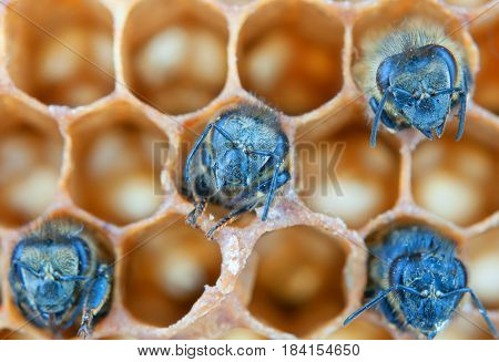 a yong bees inside honeycomb. A Close up