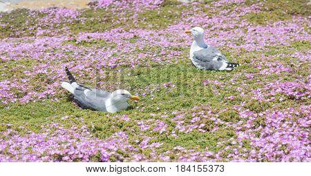 Western Gulls (Larus californicus) Perching on ice plant flowerbed. Alcatraz Island, San Francisco Bay, California, USA