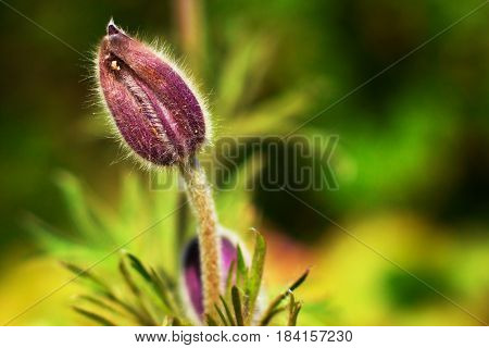 Delicate and fluffy bud of spring flower dream-grass