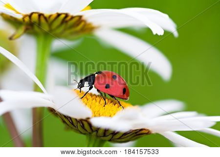 ladybug sits on a chamomile flower a close up macro. ladybird on camomile flowers on spring meadow