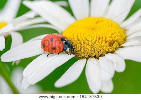 ladybug sits on a camomile flower a close up macro