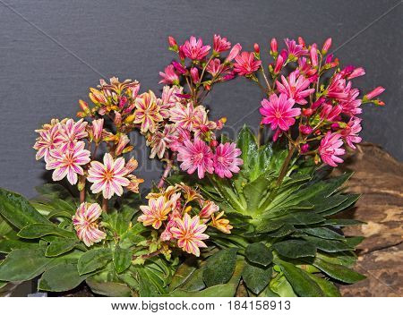Blossoms Of Lewisia Plants.