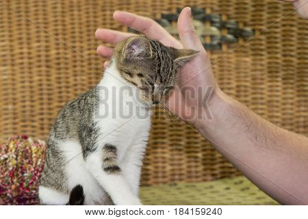 Three Months Old Kitten Enjoys To Be Stroked.