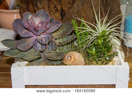 Fat Plants In A Wooden Box.