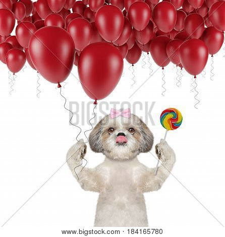 Cute shitzu dog with balloon and lollipop -- isolated on white