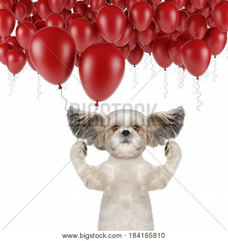 Cute shitzu dog with balloon -- isolated on white