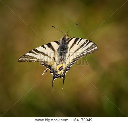Swallowtail Butterfly In Flight