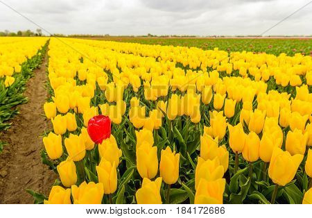 One red tulip stands out above the many yellow blooming tulip flowers in a large field at a specialized Dutch bulb nursery. It's an early morning on a cloudy day at the beginning of the spring season.